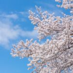 桜のイメージ画像